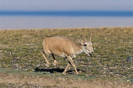 Fate of Prehistoric, Critically Endangered Saiga Antelope to be Decided at CITES